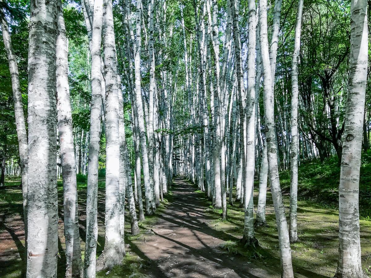 拓真館の白樺回廊