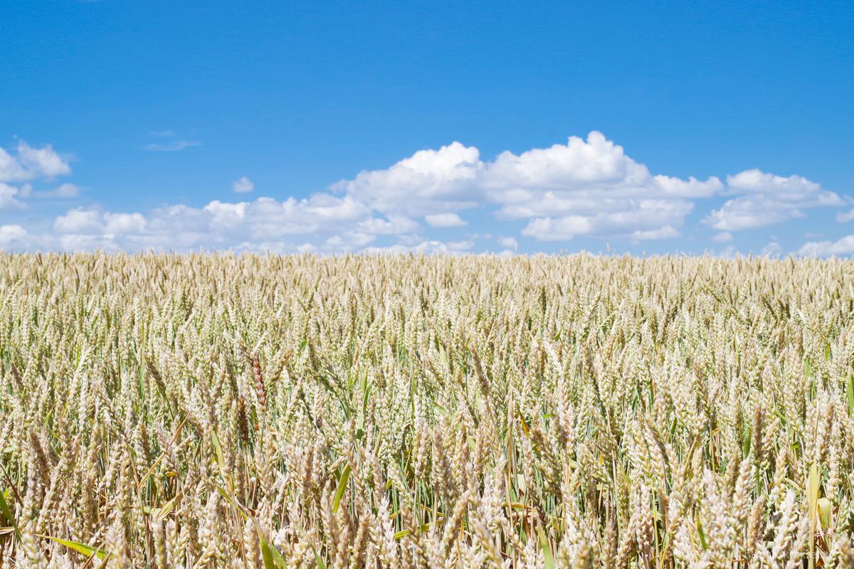 パッチワークの丘の麦畑