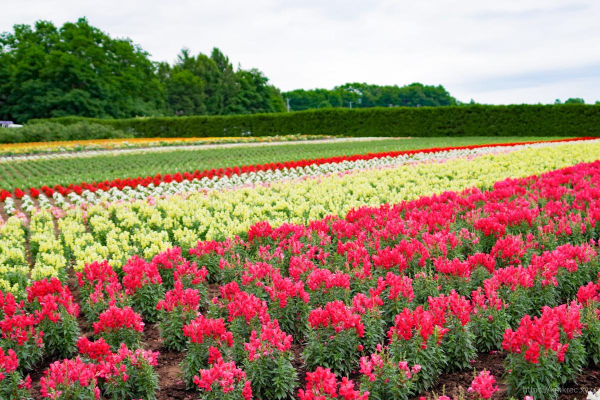 ファーム富田のカラフルな花畑