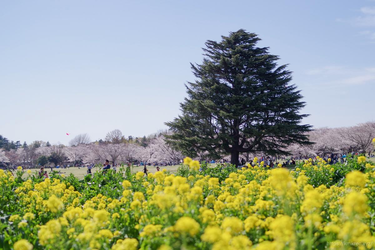 昭和記念公園の桜と菜の花