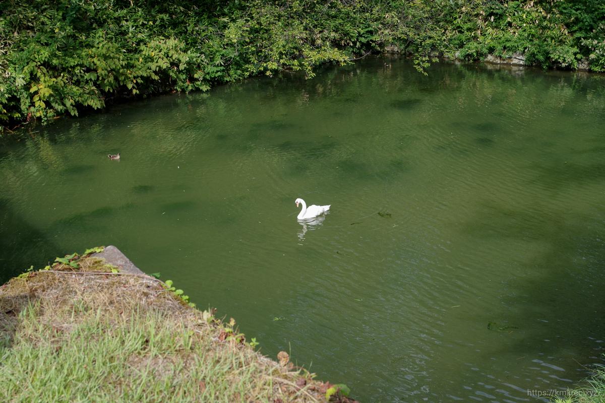 弘前公園にいた白鳥